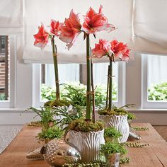 I love Amaryliis and the bulbs are very inexpensive around Christmas time at Walmart. You have to time the blooming just right...
