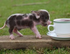 Own a miniature pig!