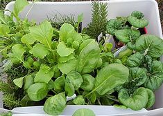 8 Vegetables to Grow in Fall Container Garden: arugula, kale, garlic, spinach, asparagus, brussel sprouts, turnips, and carrots.