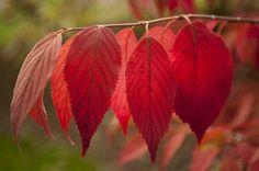 De rode bladeren die verkleuren in de herfst. De herfst is een periode in het jaar waar veel mensen depressief worden en veel relaties op de klippen lopen. Zo ook die van mij, wat een vervelend begin is geweest voor een fijne fascinatie.