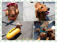 Les Bananas: Dachshund Festival NYC April 26, 2014 @ Washington Square Park