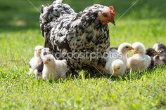 Galinha com filhotes — Imagem de Stock #26484125