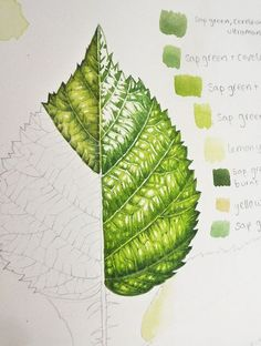 Lizzie Harper botanical illustrator on the step by step process involved in illustrating leaves