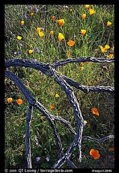 Mexican poppies and cactus squeleton. Saguaro National Park