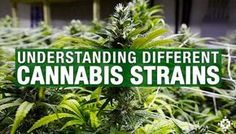 Learn How Different Strains Of Cannabis Affect You | Medical Jane