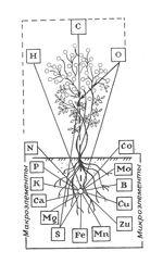 Клематисы - Уход за клематисами в период вегитации