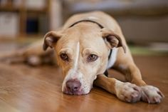 Dog laying on hardwood floor http://www.aspca.org/pet-care/virtual-pet-behaviorist/dog-behavior/separation-anxiety