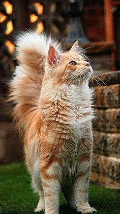 Cat Facts: Why Orange Cats Are Usually Male, Pretty Cats, Beautiful Cats, Cats Cast, Orange Cats, White Cats, Black Cats, Cat Movie, Cats Musical, Kitten Meowing