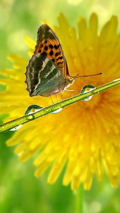 Butterfly on grass over yellow dandelion