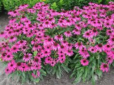 """EchinaceECHINACEA BUTTERFLY™ 'PURPLE EMPEROR' PP 24459 A perfect mass of perky purple blooms.  Common NamPurple Emperor coneflower Size15-18"""" tall by 18-24"""" wide USDA hardiness Zones5(4) – 9 Sun / ShadeFull Sun SoilAverage garden soil MoistureMoist, but well-drained Disease and PestsNone known"""
