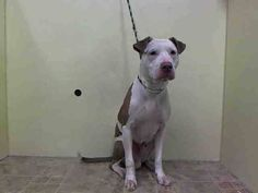TO BE DESTROYED -  8/4/14  Manhattan Center    MILES - A1008440    MALE, WHITE / BROWN, PIT BULL MIX, 3 yrs  STRAY - STRAY WAIT, NO HOLD  Reason STRAY   Intake condition NONE Intake Date 07/29/2014, From NY 10029, DueOut Date 08/01/2014  https://www.facebook.com/Urgentdeathrowdogs/photos/a.617938651552351.1073741868.152876678058553/847909245221956/?type=3&permPage=1