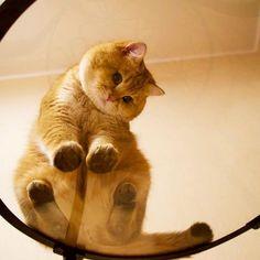 CHATS - Hosico est un chat ultra mignon au pelage étrange. En effet, ses jolis poils dorés et épais lui donnent un petit air du chat potté ! Adorable !