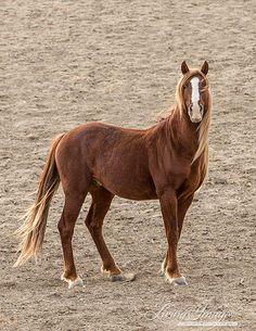 Red Desert Stallion  Fine Art Wild Horse Photograph by Carol Walker www.LivingImagesCJW.com