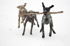 pointer and weimaraners by unfocused mike, via Flickr