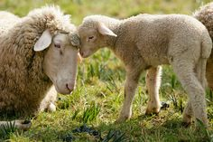 """From Robert Harding World Imagery in England, a company with over 1,100 contributing professional photographers: """"Merino Sheep, Lamb"""" #817-167389"""