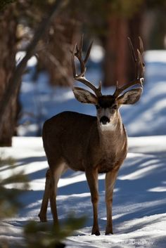 Deer in the snow will visit bird feeding stations. Whitetail Deer Pictures, Deer Photos, Beautiful Creatures, Animals Beautiful, Cute Animals, Large Animals, Beautiful Things, Deer Family, Mule Deer