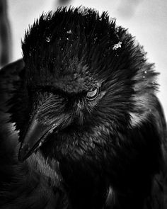 Crow by Andrey Vahrushew. °