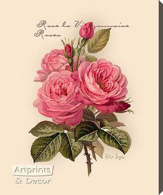 The Best Redoute Cabbage Roses Shabby Waterslide Decals Chic Decoupage Vintage, Vintage Diy, Vintage Images, Art Floral, Flower Images, Flower Art, Shabby Chic Kunst, Vintage Rosen, Illustration Blume