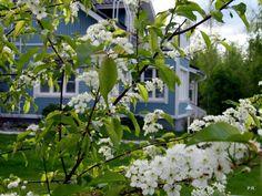 a garden view & Prunus pensylvanica