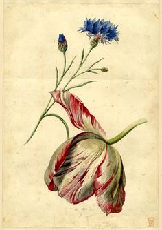 Jan van Huysum (Dutch, 1682-1749) - Flower study; a Cornflower and a Tulip - British Museum