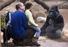 Gorilla and boy make friends