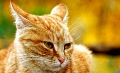 Cat's ears are little masterpieces of delicate engineering. With 32 muscles in each, they're multifunctional and do more than catch sounds. Ears, in conjunction with other subtle and overt body language, communicate the individual's moods and intentions. Even the colors and patterns of ears have a function — some felines have markings on the backs …