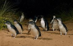 Experience a truly unique wildlife experience with a small group as you depart Melbourne towards Phillip Island. See Phillip Island's little penguins and visit Moonlit Sanctuary Wildlife Conservation Park for a hands-on wildlife experience. Wild Life, Summerland Beach, Penguin Species, Penguin Parade, Australia Holidays, Melbourne Girl, Melbourne Victoria, Phillips Island, Viewing Wildlife