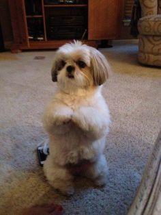 Shihtzu Time - The World of the loveable Shih Tzu Perro Shih Tzu, Shih Tzu Hund, Shih Tzu Puppy, Shih Tzus, Cute Puppies, Cute Dogs, Dogs And Puppies, Doggies, Pekinese