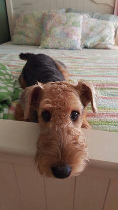 5 months. Ella Airedale Terrier