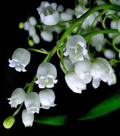 Flower Homes: Lily of the Valley Flowers May Birth Flowers, My Flower, White Flowers, Beautiful Flowers, Lily Of Valley, Lily Of The Valley Flowers, Love Lily, Language Of Flowers, Dream Garden