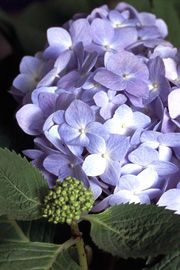 Endless summer, hårdfør hortensia, blomstrer både på nye og gamle skud