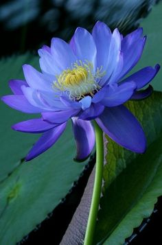 blue lotus #flowers #nature #flower-photography