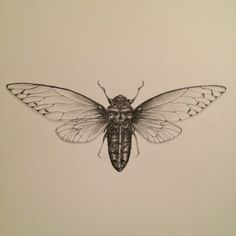 Cicada Drawing Art Print