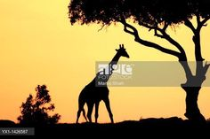 The tallest animal in the world which browses on tree leaves and twigs At sunrise the silouhette of the giraffe against the red and orange sky looks very  appealing. © Manoj Shah / VWPics / age fotostock - Stock Photos, Videos and Vectors