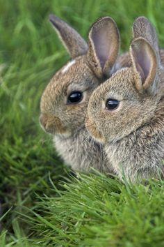 A Pair of Bunny Rabbits.