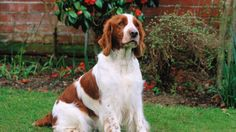 #vetsswale The Welsh Springer Spaniel is a compact, medium-sized, working dog. The slightly rounded head is in proportion to the body with a slightly domed skull.