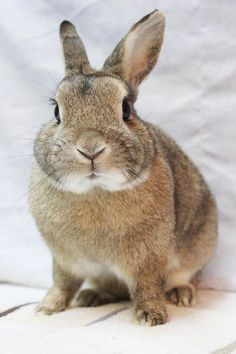 #CANADA ~ Touki ID A21563263 is a #senior dwarf Bunny Rabbit who arrived at the shelter abandoned b/c of the owner's health. Touki is a very nice, small calm rabbit. He's curious, likes to be pet but does not like being held. He's a sweetie! I