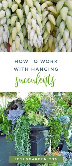 How To Work With Hanging Succulents Without All The Leaves Falling Off Many leaves can break off when you plant hanging succulents like Burro's Tail & String Of Pearls . Here's how to work with them to prevent too many of those leaves from falling off. Types Of Succulents, Colorful Succulents, Hanging Succulents, Growing Succulents, Hanging Plants, Succulents Garden, Succulent Arrangements, Plants Indoor, Growing Flowers