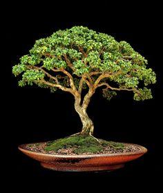 Kingsville Box (Buxus microphylla 'Kingsville Dwarf') by Ron Lang