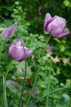 Tulips in herb garden - Tulpen im Kräuterbeet, Familiengarten Berlin