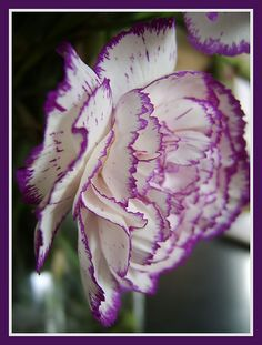Flower Type carnations | Carnation Flowers Information | Garden Guides