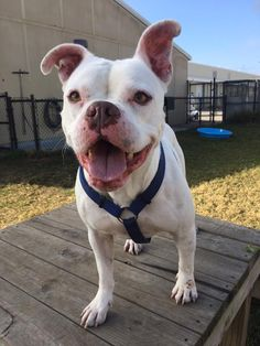 1/25/17-SUGARLAND, TX - Sugar Land Animal Shelter Dogs Like This Page · January 16 ·    Hello, you there? Meatball is still here! It's a soggy Monday, so be careful out there as you drive yourself to work. Don't forgot if you want to meet Meatball, drop by the shelter! He would love to meet you and see if you would be a great home for him.