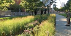 Six rain gardens covers over 5,000 square feet of area that collect and infiltrate stormwater from over two-thirds of the site. Rain gardens are planted with native grasses and wildflowers — in this case, with Switchgrass (Panicum) and Bee Balm (Monarda). Nelson Byrd Woltz Landscape architects. St. Louis, MO