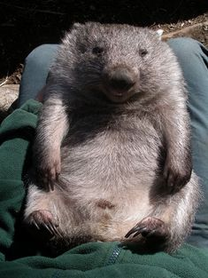 This sunbaking wombat. | 25 Critters That Will Kill You (With Their Cuteness)