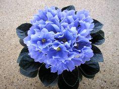 African Violet - Rhapsodie Clementine