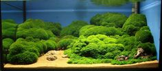 Mini pellia tank. Also known as coral moss or Riccardia chamedryfolia.