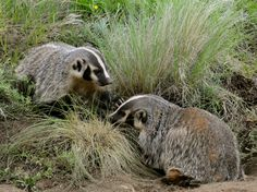 Badger mom/pup interactions can also be very sweet and contradictory for this queen of fierceness.  photo by sally king