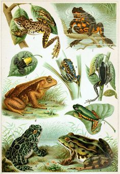 Rhamphotheca — Illustrations of various frogs from Brockhaus'...
