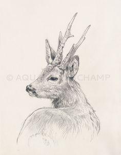Etude d'animaux sauvages - Chevreuil : Dessins par portraits-de-maisons