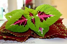 Rooting and Overwintering Coleus Cuttings »
